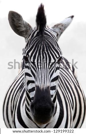 Zebra Stock Photos, Royalty-Free Images & Vectors ...