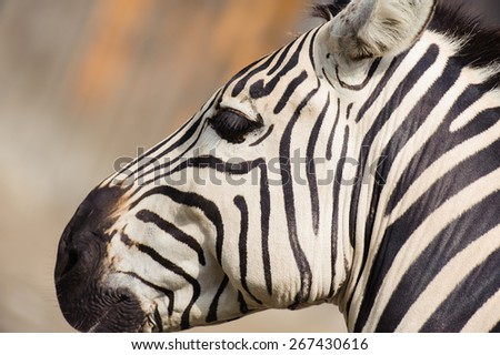 Zebra head close-up on the blurred background - stock photo