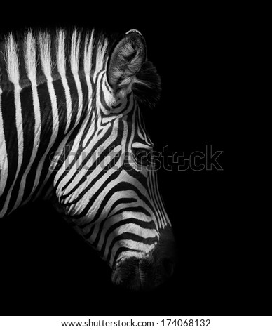 Zebra head from the side in black and white - stock photo
