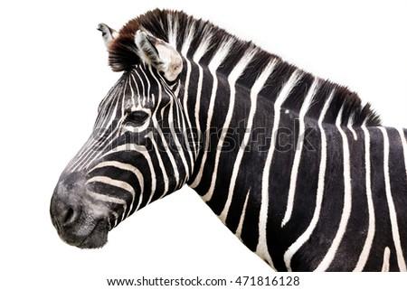 Zebra Head Side Shot Isolated On Stock Photo 471816128 ...