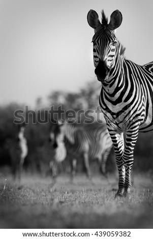 Zebra herd in black and white - stock photo
