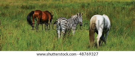 ZEBRA IN A HERD OF HORSES