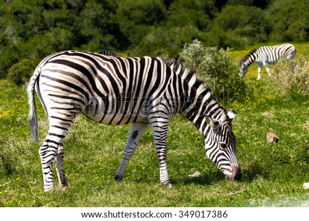 Zebra in a safari park in South Africa. - stock photo