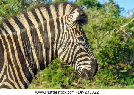 Zebra in Addo national park, South Africa  - stock photo