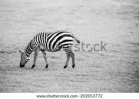 Zebra in black and white on grass - stock photo