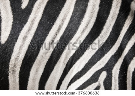 zebra in detail - stock photo