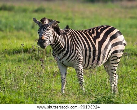Zebra in green field seeming to smell small purple flowers