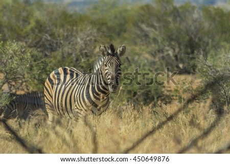Zebra in its natural environment in the bush