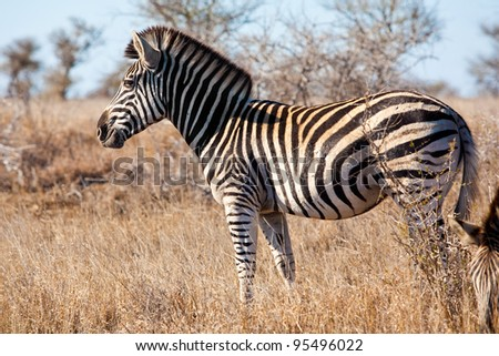 Zebra in Kruger National Park, South Africa