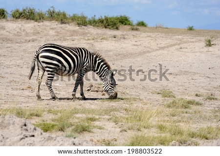 Zebra in National Park. Africa, Kenya