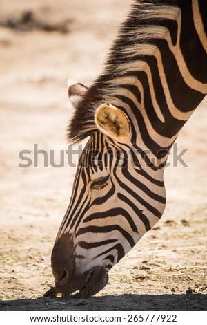 Zebra in South Africa - stock photo