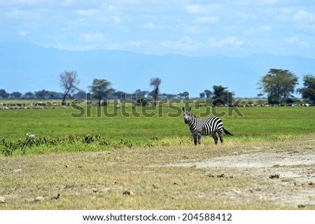 Zebra in the African savannah in their natural habitat