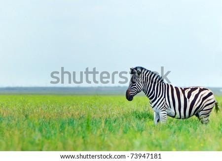 Zebra in the fresh green spring steppe - stock photo