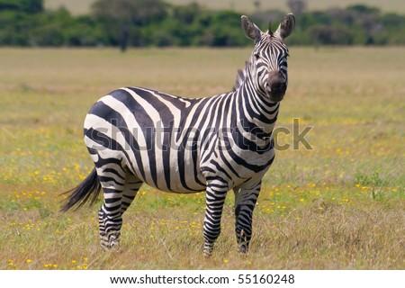 Zebra in the grasslands of south africa savannah - stock photo