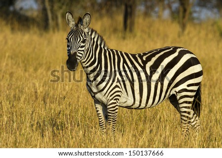 Zebra in the grasslands of the Serengeti at dawn, Tanzania, East Africa - stock photo