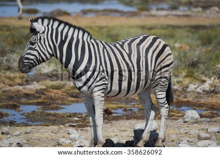 Zebra in the savannah of Etosha National Park