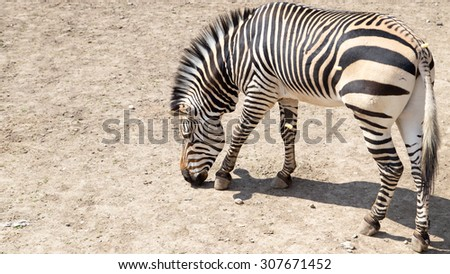 zebra in the zoo - stock photo