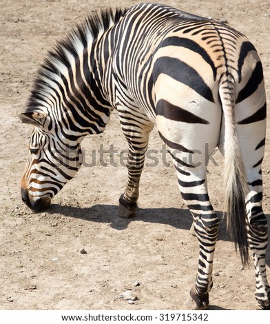zebra in the zoo - stock photo