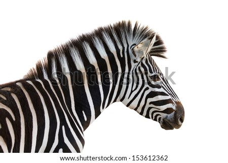 Zebra isolated on white - stock photo