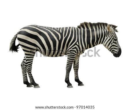 Zebra isolated on white background. - stock photo