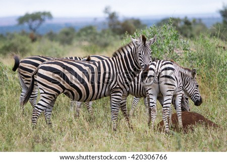 Zebra-Kruger park  - stock photo