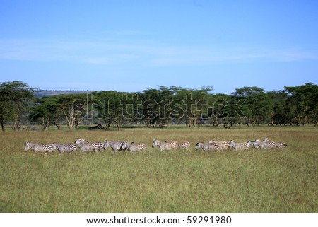 Zebra - Lake Nukuru National Park in Kenya, Africa