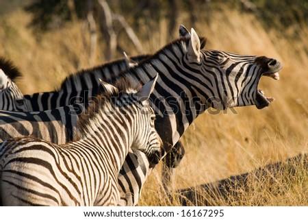 Zebra laughing (Equus quagga) - stock photo