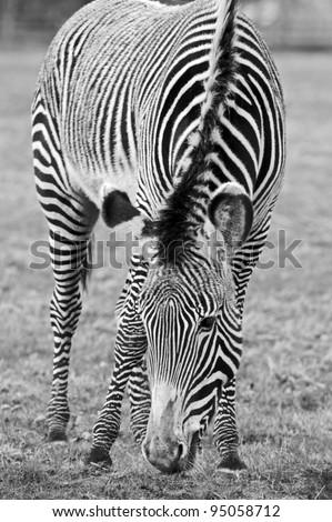 Zebra Mono - stock photo