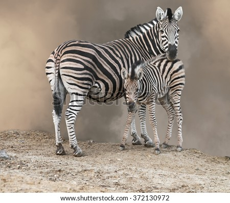 Zebra mother and foal looking at camera. - stock photo