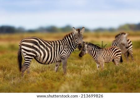 Zebra mother with calf in Amboseli National Park, Kenya - stock photo
