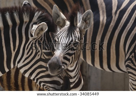 Zebra mother with offspring - stock photo
