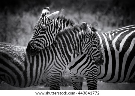 Zebra on grassland in National park of Africa