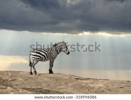 Zebra on stone in Africa, National park of Kenya - stock photo