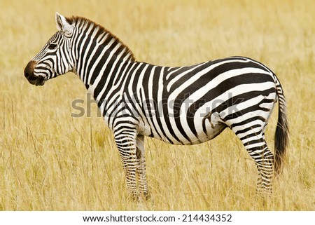 Zebra on the Masai Mara National Reserve safari in southwestern Kenya. - stock photo