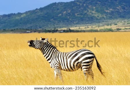 Zebra on the Masai Mara National Reserve safari in southwestern Kenya. - stock photo