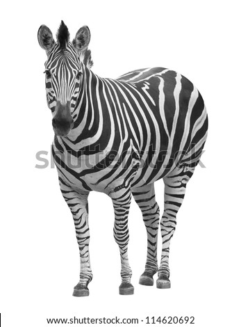 zebra on white with clipping path - stock photo