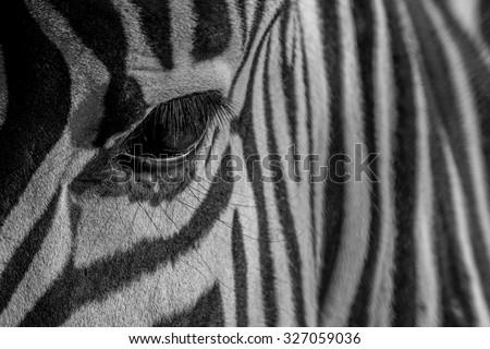 Zebra pattern eye stripes - stock photo