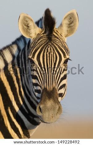 Zebra portrait - stock photo