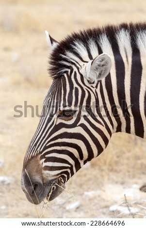 Zebra portrait. Burchell's zebra, Equus quagga burchellii. Etosha national Park, Ombika, Kunene, Namibia. True wildlife photography - stock photo