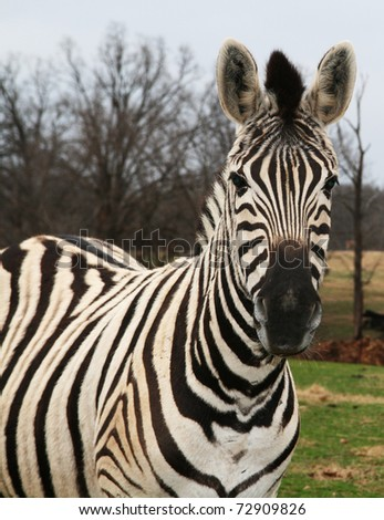 Zebra Poses for A Portrait