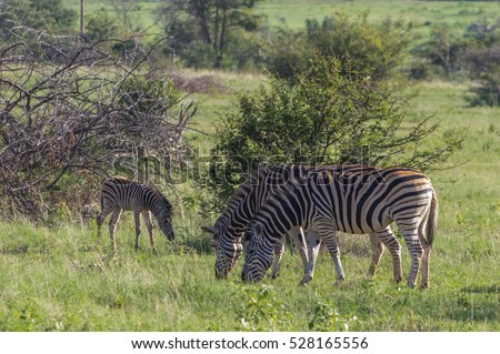 Zebra's grazing in the  wild at the Welgevonden Game Reserve in South Africa