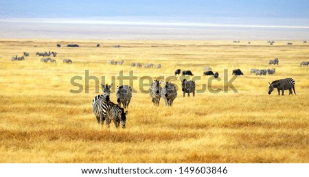 zebra' s grazing on grassland in Africa  - stock photo