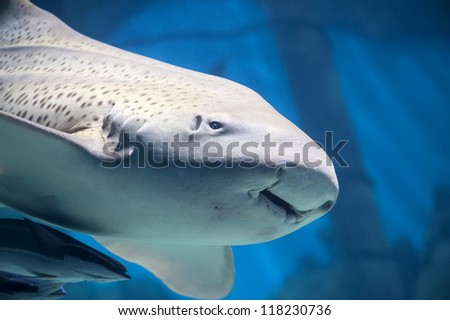 Zebra shark or Leopard shark (Stegostoma fasciatum) close-up with suckerfishes (Remora remora) - stock photo