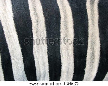 zebra skin close up - stock photo