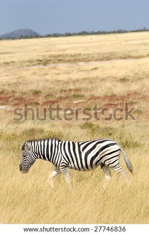 Zebra South Africa wildlife - stock photo