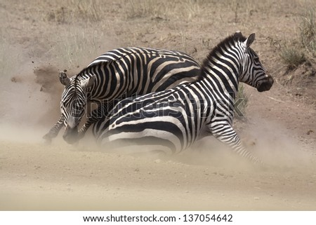 Zebra stallions fighting in the dust - stock photo