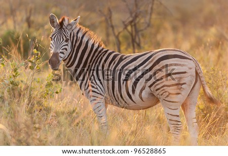 Zebra standing in the bush - stock photo