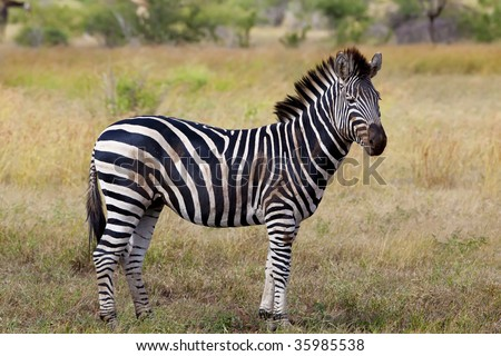 Zebra standing on the african grass plains - stock photo