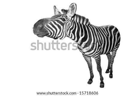 Zebra stretching his neck out. - stock photo