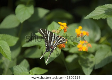 Zebra swallowtail butterfly on orange flower - stock photo